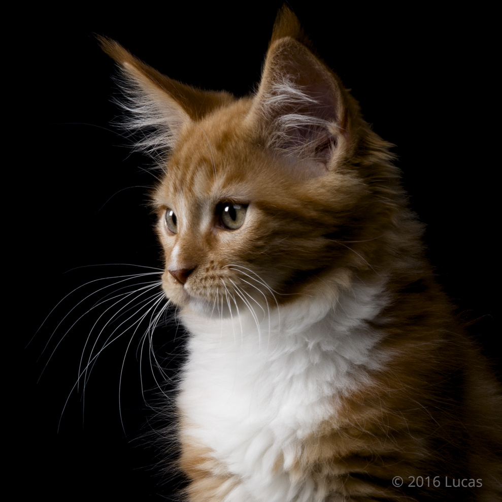 Ginger cat with black background