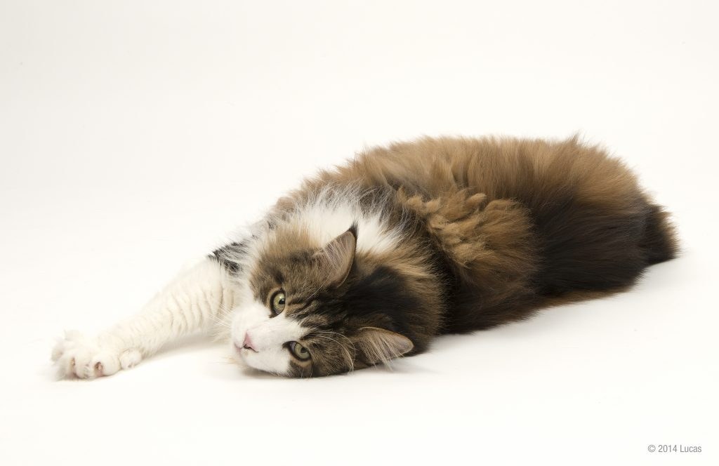 Maine Coon lying down