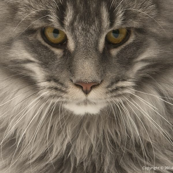 Tabby Maine Coon cat face