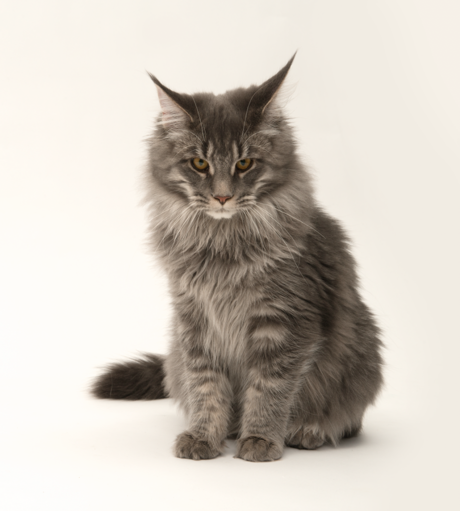 Breed Profile: Maine Coon - lucas and cats
