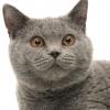 British shorthair cat smiling