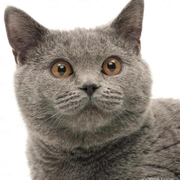 British shorthair cat smiling